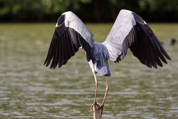 Krásná mohutná křídla volavky popelavé nejlépe vyniknou při pohledu zezadu.