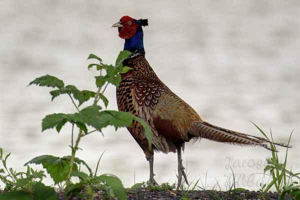 Kohout dorůstá délky 75-90 cm, z toho však připadá až 40 cm na ocas, hmotnost 1,2-1,9 kg. Na nohách má vyvinuté ostruhy. Je zbarven velmi pestře. Jeho peří má bronzový lesk, na hrudi až dočervena, proužky na ocase jsou tmavě hnědé.