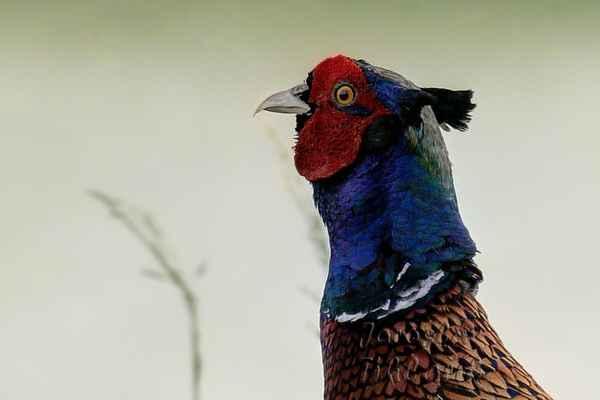 Zvláště nápadné je zbarvení hlavy a krku, které je tmavě modré až černé se zeleným nebo fialovým leskem. Na temeni má vztyčitelné péřové růžky a na tvářích masité, jasně červené laloky.