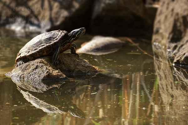 Želva nádherná. Vysoké počty želv v naší volné přírodě jsou způsobeny uprchlými nebo vypuštěnými jedinci tohoto velmi populárního chovného druhu, které je ale krajní nezodpovědností vůči původní přírodě i vůči vypuštěným želvám.