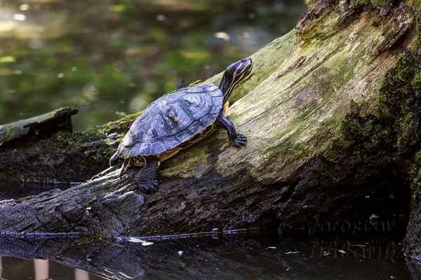 Sedíme-li u rybníka, řeky nebo potoka a před námi vyleze z vody želva, žasneme, kde se zde vzala, nejsme přece v ZOO. A některé jsou dost velké. Dočteme se, že vyrostou do úctyhodných 25-30 cm.