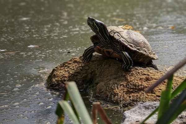 Moucha letící před želvou má štěstí, že želva sleduje mě. Na chytání letícího hmyzu je překvapivě rychlá.