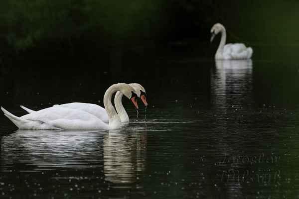 Labutě mají vrozený život v páru, mívají většinou po celý život jednoho partnera. Samotářka je mladá labuť (poznáme podle barvy zobáku), která si teprve partnera najde.