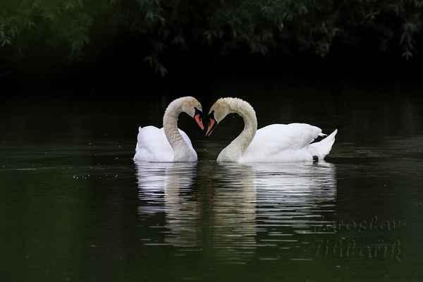 Někdy se labutím podaří vytvořit i náš symbol lásky.