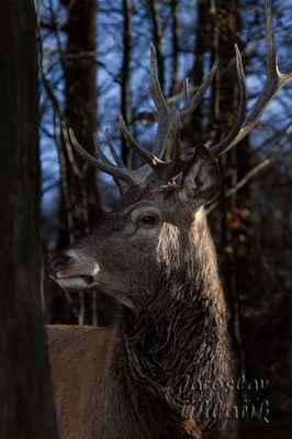 Jelen evropský. Samci dorůstají 175–230 cm a jejich hmotnost se pohybuje mezi 160–240 kg. Nejtypičtějším znakem pro samce jsou parohy, které každý rok, obvykle na konci zimy, shazují. Na jaře jelenům rostou parohy nové.