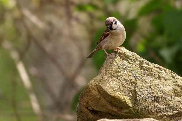 Vrabec polní. V porovnání s vrabcem domácím konzumuje více semen plevelů než kulturních rostlin a neoklovává ovoce, škody páchané na zemědělských plodinách jsou tak znatelně nižší než u vrabce domácího.