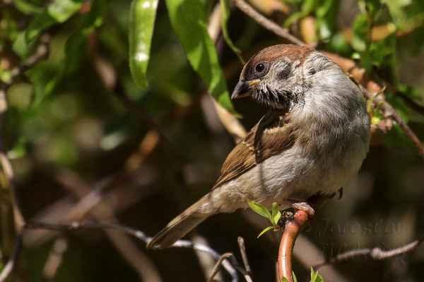 Vrabec polní je o něco menší než vrabec domácí. Délka těla 12,5–14 cm, rozpětí křídel 21 cm, hmotnost 20–24 g.