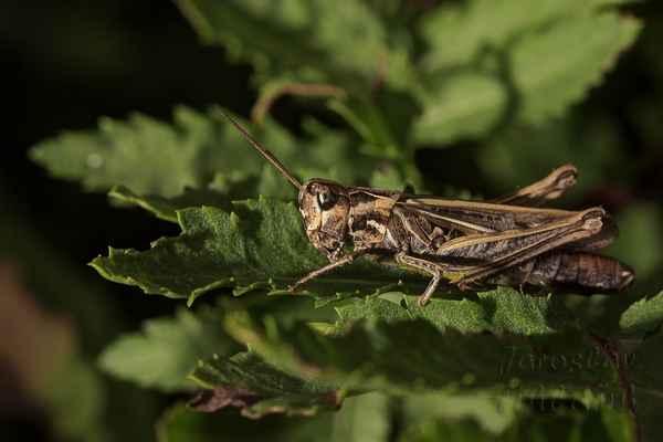 Saranče měnlivá. Samci dosahují délky těla 13–16 mm, samice 16–23 mm.