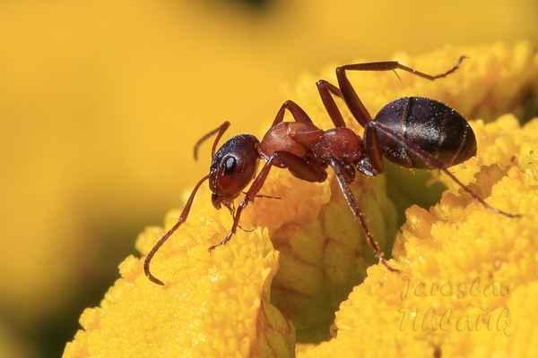 Mravenec asi Formica truncorum – dělnice. Dělnice jsou 5 až 9 mm dlouhé. Žasnu, co vše tento malý tvor dokáže.