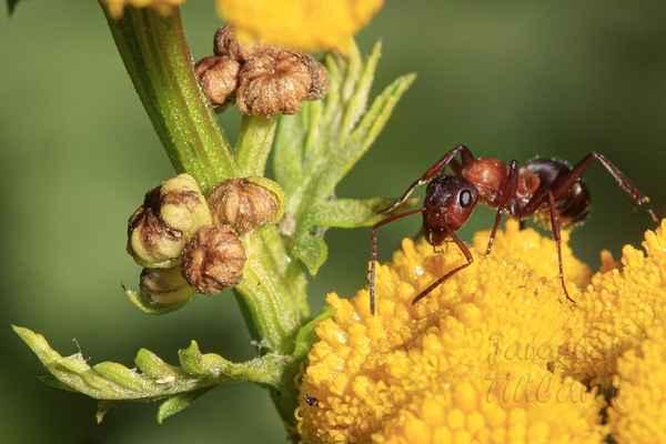 Mravenci Formica truncorum obývají celou střední a severní Evropu.