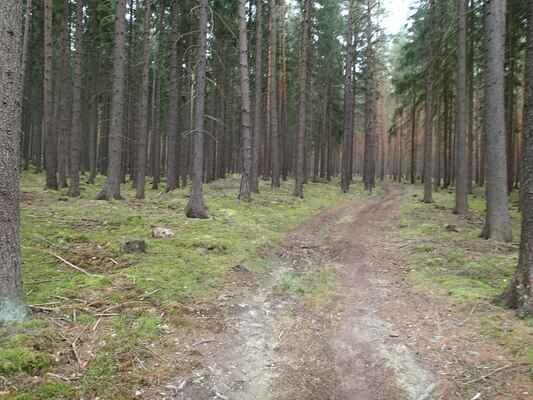 Les před obcí Žebnice s bohatým mechovým podrostem.