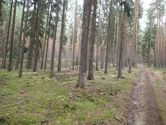 Smrkovo-borový les před obcí Žebnice s mechy.
