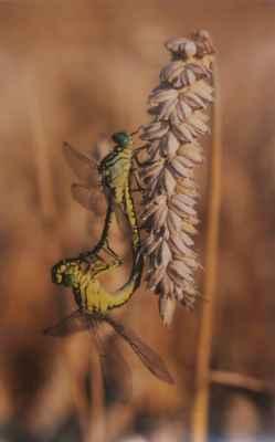 """41. Bárta Dan """"Stylurus flavipes"""" (), fotografie 1/1, 60x38cm; Nysa, PL, VII.2004; 2 500 Kč"""