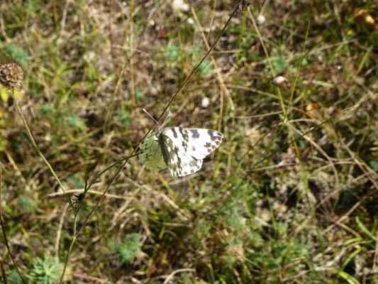 bělásek rezedkový (Pontia edusa), samice (zdroj chilici)