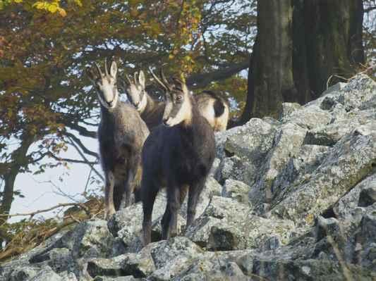 kamzíci jsou vysokohorská zvířata a do lužických hor se dostaly na počátku 20. století díky hraběti kinskému...