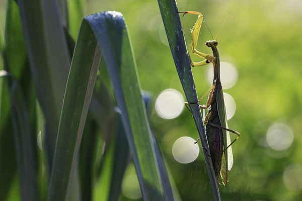 Samička kudlanky nábožné je výrazně větší než sameček, je dlouhá 5 až 9 cm, sameček jen 4 až 6 cm.