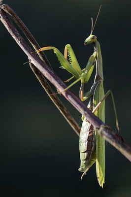 Na obrázku vidíme samičku, poznáme podle toho, že samička má bříško složené ze šesti článků, sameček má článků osm. Dalším rozdílem jsou u samečka delší tykadla.