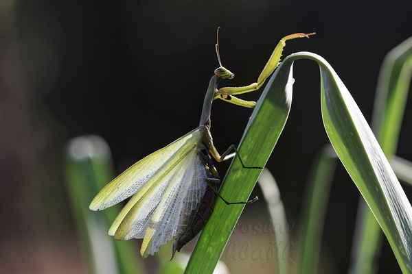 Kudlanka je vybavena i křídly, samička se k letu odhodlá jen zřídka a let je velmi krátký, pouze několik metrů. Sameček je výrazně lepší letec, který dokáže uletět i desítky metrů.