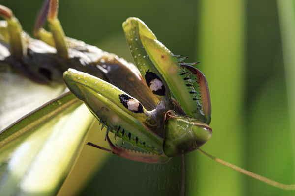 Tyto skvrny, vypadající jako velké oči, slouží k zastrašení predátorů, je-li kudlanka ohrožená.