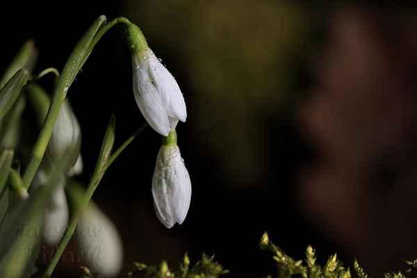 Jeden z prvních symbolů blížícího se jara je sněženka podsněžník (Galanthus nivalis).