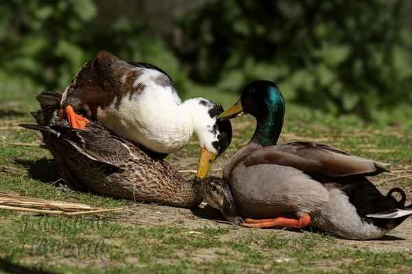 Brzy z jara začíná být mezi kachnami rušno. Je-li cizí kačer rychlejší, kačer z páru jen přihlíží.