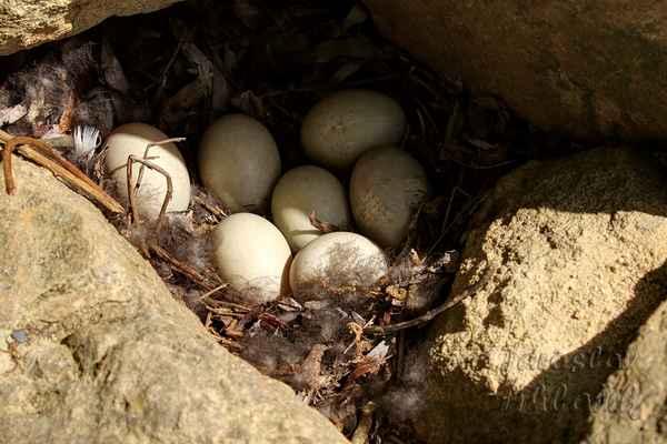 V tomto pro kachny divokém období kachna snáší vejce. Majitelka tohoto hnízda vyměnila pohodlí za bezpečnost. Viděl jsem v jiném hnízdě i čtrnáct vajec. Nevím, jak by je zde naskládala.