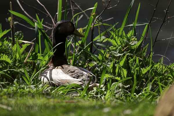 Po snůšce následuje sezení. Na vejcích sedí pouze samice 23 až 29 dní.