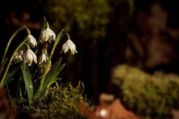 Spolu se sněženkami na blížící se jaro upozorňují i bledule jarní (Leucojum vernum). Na rozdíl od sněženek je bledule u nás původní.