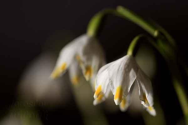 Bledule jarní také patří mezi jedovaté rostliny. Obsahuje, jako sněženka, jedovaté alkaloidy.