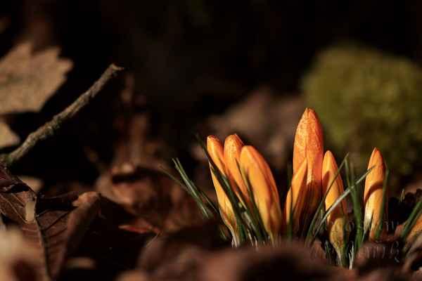Brzy z jara najdeme kolem řeky Moravy i různé barvy šafránů (krokusů), splavené ze zahrádek při záplavách.