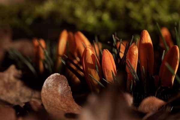 Šafrán zlatý (Crocus chrysanthus). Kvete žlutě, někde se probarvuje i do oranžova a zapadající sluníčko tuhla barvu zvýrazňuje.