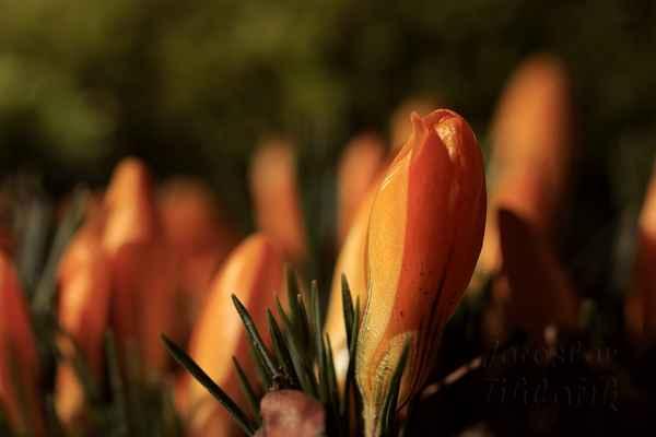 Krásně oživují probouzející se přírodu.