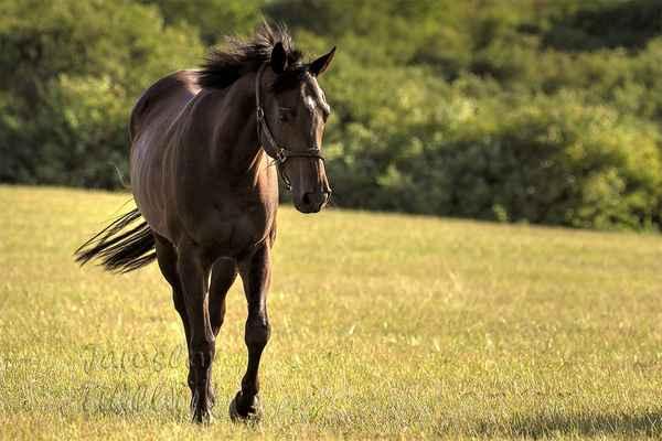 I když je kůň mnohem těžší než člověk, váha jeho mozku je cca poloviční.