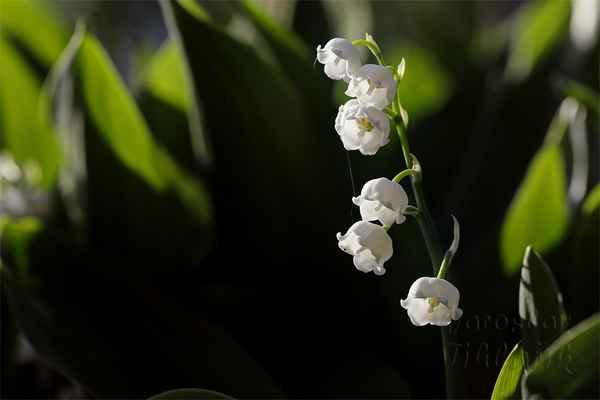 Konvalinka vonná (Convallaria majalis) je opět jako sněženka a bledule jedovatá rostlina.