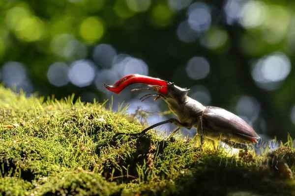 Roháč obecný (Lucanus cervus).