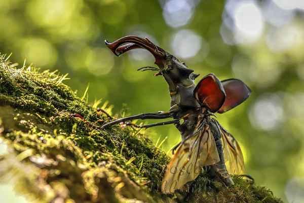 Přestane-li roháče bavit fotografování, nazvedne krovky, roztáhne křídla a asi po půlvteřinové pauze s hlasitým bzukotem odletí.