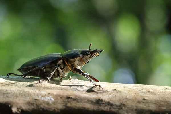 Zde je samička, o kterou se sváděl boj. Samička nemá tak velká kusadla, jako sameček, ale svými malými kleštičkami dokáže více štípnout, než sameček.