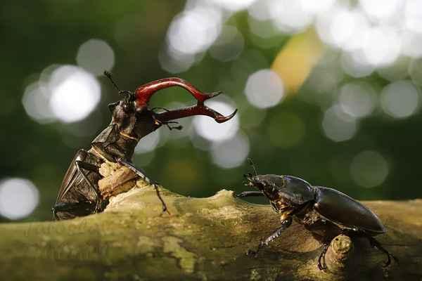 Vítězný sameček se samičkou.