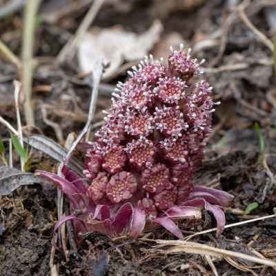 Deväťsil lekársky - Petasites hybridus (L.) P. Gaertn., B. Mey. et Scherb. (devětsil lékařský), čeľaď Asteraceae (astrovité)