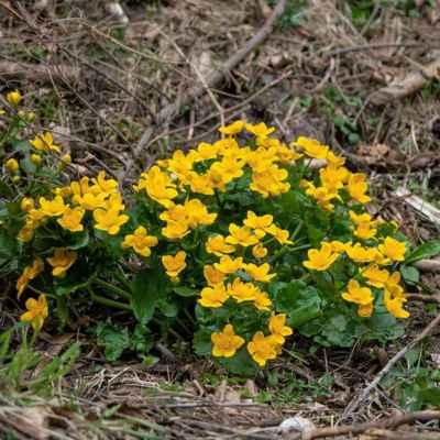 Záružlie močiarne - Caltha palustris L. (blatouch bahenní), čeľaď Ranunculaceae (iskerníkovité)