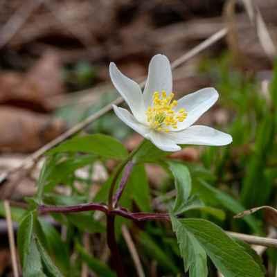 Veternica hájna - Anemone nemorosa L. (sasanka hajní), čeľaď Ranunculaceae (iskerníkovité)