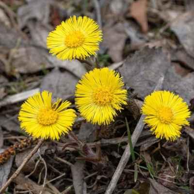 Podbeľ liečivý - Tussilago farfara L. (podběl lékařský), čeľaď Asteraceae (astrovité)